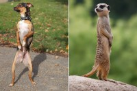 Densil, the dog who stands on his hind legs