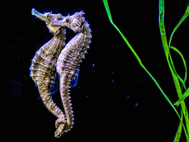 male and seahorse That seahorses were sex role reversed (that females competed more intensely  than  of their specialised male pregnancy, seahorses are usually considered  the.