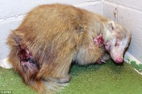 A rare albino badger recovers after being att