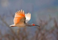 IS threat to rare bird in Syria
