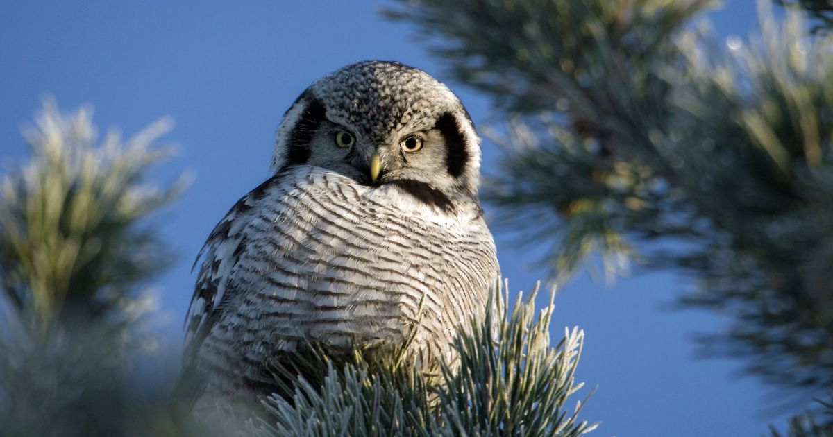 Deadly purpose of a Torpedo Owl may makes you