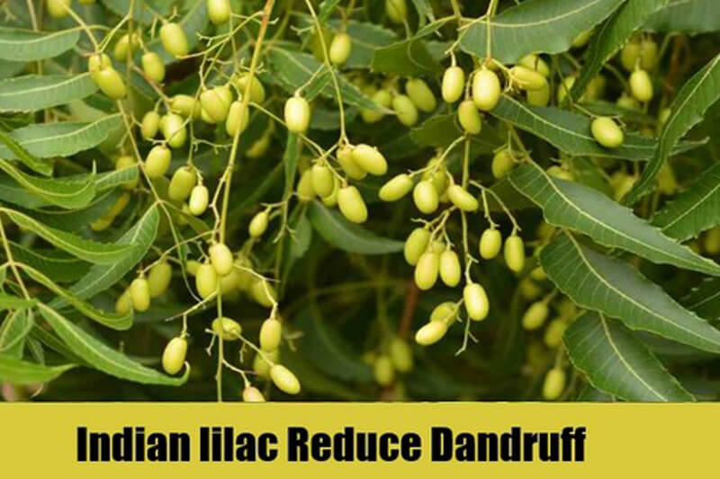 Indian-lilac-Reduce-Dandruff (1)